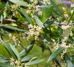 Květ olivovníku, peckovice a jiné základní informace o olivovníku